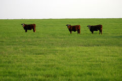 Cattle. Three heifers (beef cattle) on lush green pasture in late afternoon light against hazy summer sky, north Texas Stock Photos