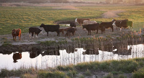 Cattle Stock Images