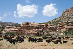 Cattle. Livestock grazing on the open range in Escalante Canyon, Colorado in spring Royalty Free Stock Photography