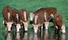 Cattle. Hereford cattle drinking at a farm dam Royalty Free Stock Photos