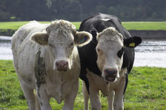 Cattle. On a U.K. farm Royalty Free Stock Photography