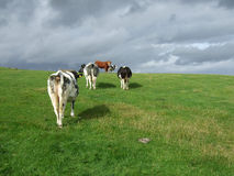 Cattle. Running away from the photographer. Yorkshire, England stock images