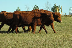 Cattle. Red cattle in herd walking to barn Stock Photo