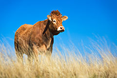 Cattle Stock Photo