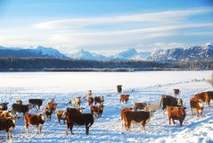 Cattle. Cows on the ranch in winter stock photos