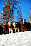 Cattle. Cows on the ranch in winter stock photo
