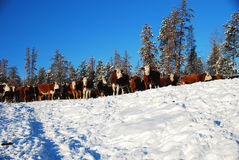Cattle. Cows on the ranch in winter royalty free stock photos