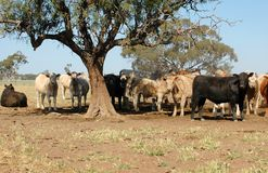 Cattle. Under a tree during a drought royalty free stock image