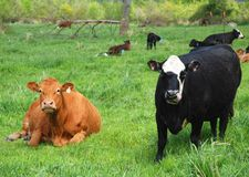 Cattle. Cows on a dairy farm Royalty Free Stock Image