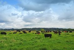 Cattle. Cows on a dairy farm Stock Photography