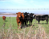 Cattle. Young beef cattle (Angus and Limousin) with furry winter coats on winter wheat pasture with pond in background and barbwire fence and dried weeds in Stock Photo