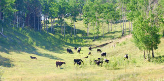 Cattle. Grazing in a draw in Colorado royalty free stock photography