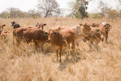 Cattle. Beef cattle Kafuie Zambia Africa Royalty Free Stock Photography
