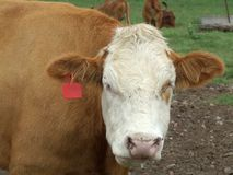 Cattle. Close up of a cow royalty free stock photography