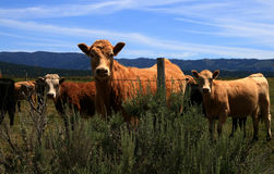 Cattle 8. Cattle curious to the camera,rural Idaho Stock Images