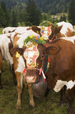 Cattle adorned for bringing down from pastures Stock Image