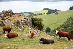 Cattle at Akaroa Royalty Free Stock Image