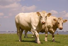 Cattle along a lake Royalty Free Stock Photos