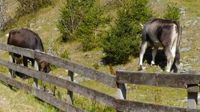 Cattle in alpine area grass fence. Two cattles grassing in alpine area behind a fence stock footage