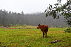 The cattle in alpine meadow Stock Images