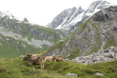 Cattle in alps Stock Image