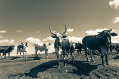 Cattle Animals Closeup Vintage Royalty Free Stock Images