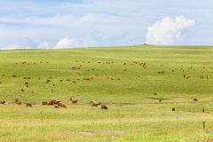 Cattle Animals Farming Hills Landscape. Cattle farming landscape dozens of beef animals grazing scattered over rolling hills green summer pastures Royalty Free Stock Photography