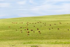 Cattle Animals Farming Hills Landscape. Cattle farming landscape dozens of beef animals grazing scattered over rolling hills green summer pastures Royalty Free Stock Photo