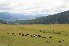 Cattle in Argentina Stock Photo