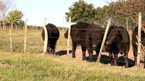 Cattle in the Argentine countryside stock footage