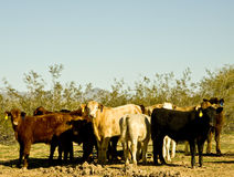 Cattle on Arizona's Range. Stock Images