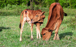 Cattle in Asia Royalty Free Stock Photos