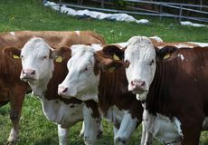 Free Cattle At Grazing Land Stock Photo - 107903270