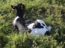 Calf lying on the grass Stock Images