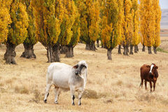 Cattle in an autumn field. Surrounded by golden poplars Royalty Free Stock Images