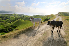 Cattle at Batanes, Philippines Royalty Free Stock Images