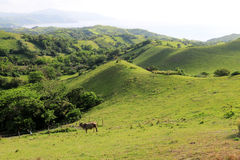 Cattle at Batanes, Philippines - Series 2 Royalty Free Stock Photography