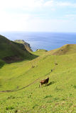 Cattle at Batanes, Philippines - Series 3 Royalty Free Stock Photography