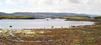 Cattle in a bay of sea Royalty Free Stock Photo