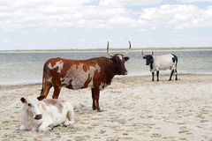Cattle on the beach. Three nguni cattle posed on a white beach stock image
