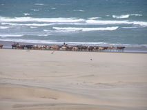 Cattle on the beach. Cattle being driven on the beach in KwaZulu Natal in South Africa Stock Image