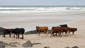 Cattle on a beach on a cloudy day Royalty Free Stock Images
