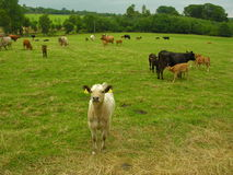 Cattle. Beef and dairy cattle in pasture Stock Photography