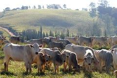 Cattle. Beef cattle in feedlot on farm, brazil Royalty Free Stock Photo