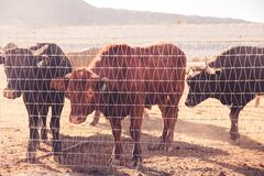 Cattle Behind Wire Fence during Daytime Royalty Free Stock Photo