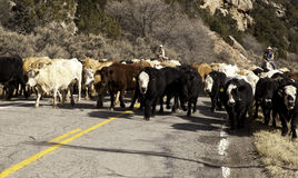 Cowboys And Horses Moving Cows Editorial Stock Photo