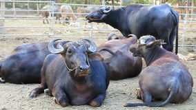 The cattle of big buffaloes stock footage