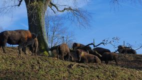 Farmed Bison, Buffaloes. Cattle Bisons at Pature, Bavaria, Germany, Europe stock video footage