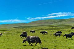 Cattle. On the blue sky grassland Royalty Free Stock Photo