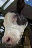 Cattle Branding Activities. Cattle Branding in Alberta.  Cow being branded Royalty Free Stock Photo
